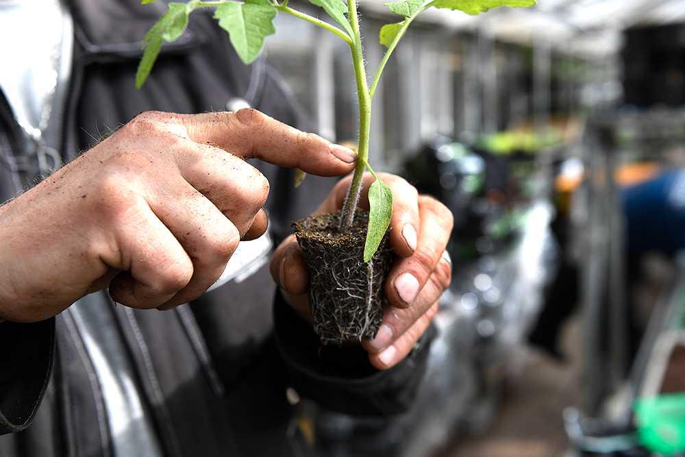 Plantan ska ner i jorden, ända ner till hjärtbladen.