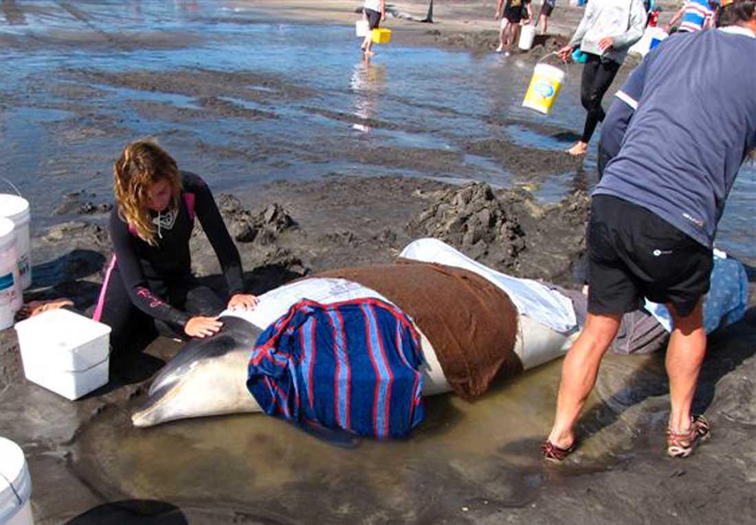 Räddar liv En kvinna försöker hålla en strandad delfin vid liv på King Island.