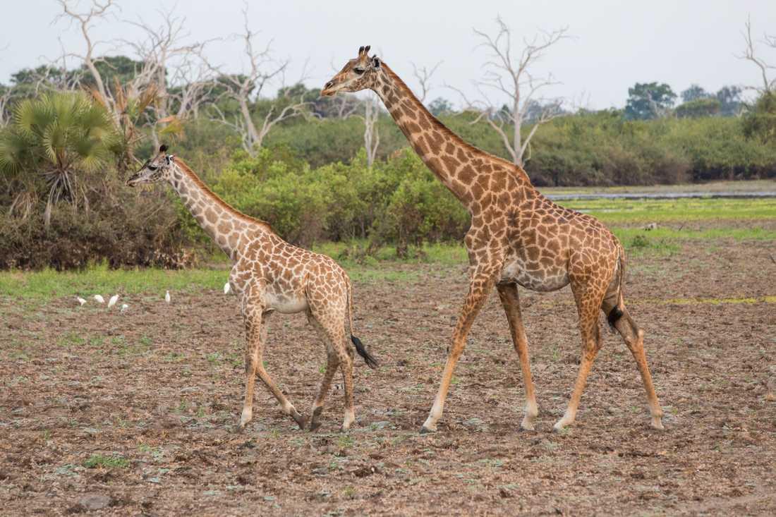 Girafferna finns nu bara kvar i nationalparkerna.