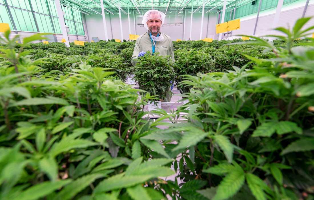 Mads Pedersen hoppas bli den förste danska cannabisodlaren med licens. Siktet är inställt på export av medicinsk cannabis till framför allt Tyskland och Italien, men även försäljning i Danmark.