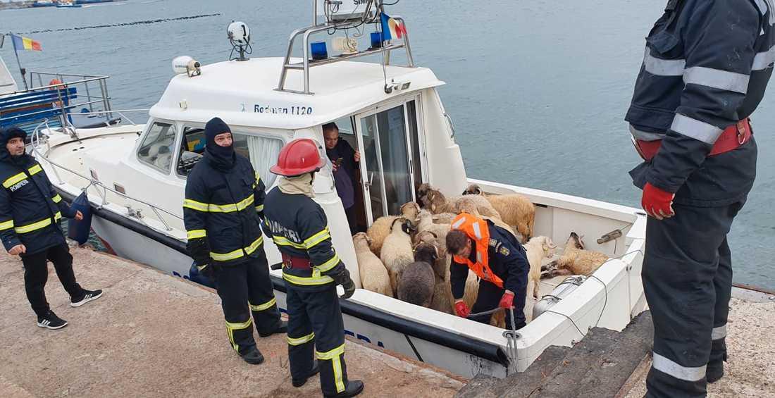 Här är några av de får som räddades från det sjunkande fartyget.