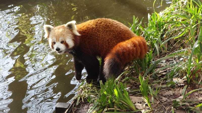 Röda pandan Arjun är försvunnen.