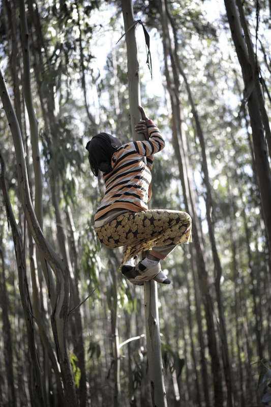 Alemnesh Gedebe, 13, klättrar högt för att plocka grenar i trädkronan.