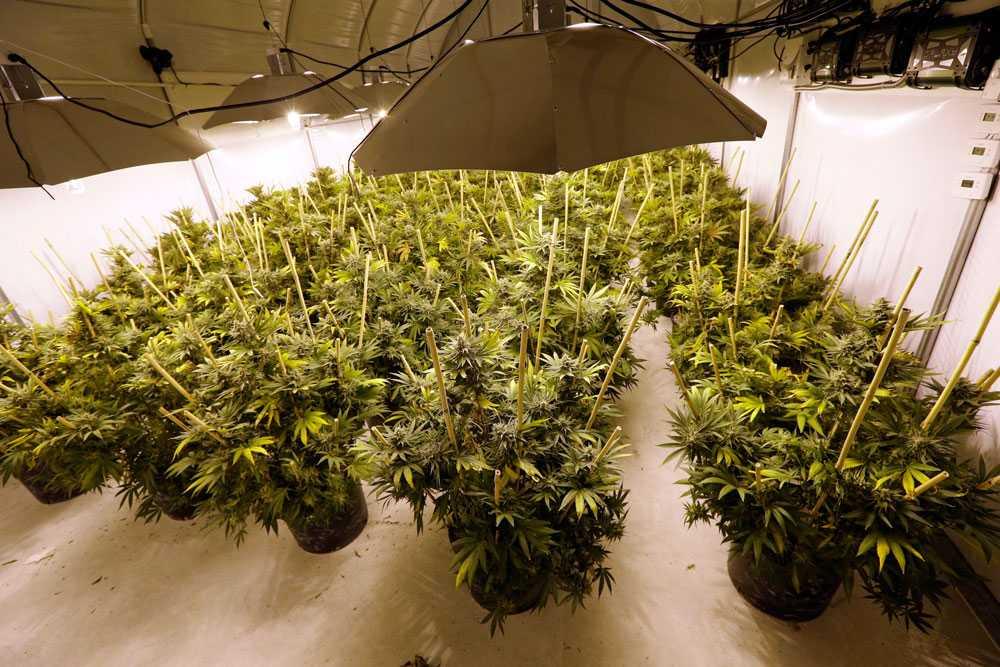 En odling med marijuanaplantor.