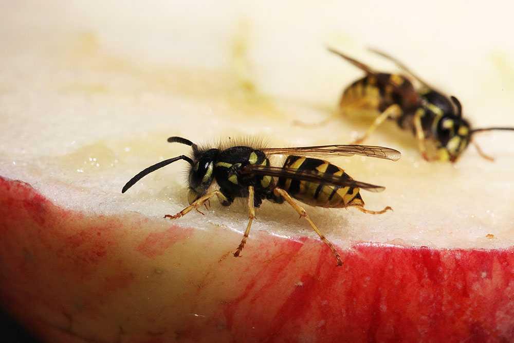 Så ska du göra om du blir stucken av en geting eller ett bi.