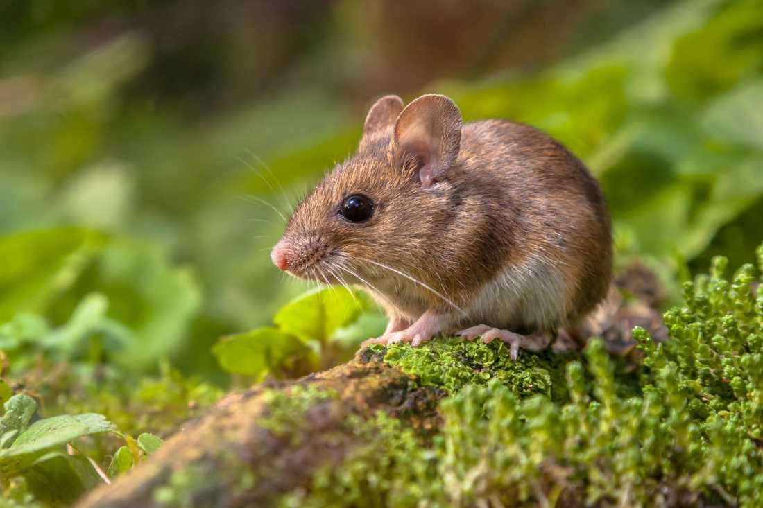 """Möss kan ta sig in genom små springor. """"Det räcker med någon centimeter glipa. Även om en mus ser ut att vara lite större är det egentligen bara skallen den behöver kunna pressa igenom. Kroppen kan den dra efter sig"""", säger Didrik Vanhoenacker, jourhavande biolog vid Naturhistoriska riksmuseet."""
