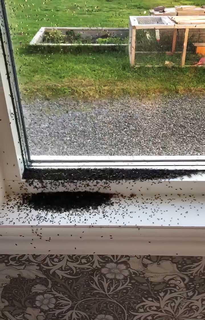 Ida, 36, i Inbyn utanför Boden har fått huset invaderat av knott.