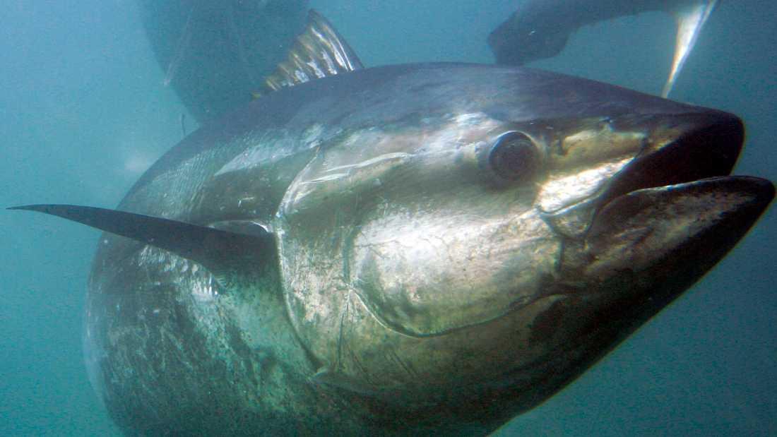 En blåfenad tonfisk (Thunnus thynnus). Arkivbild.