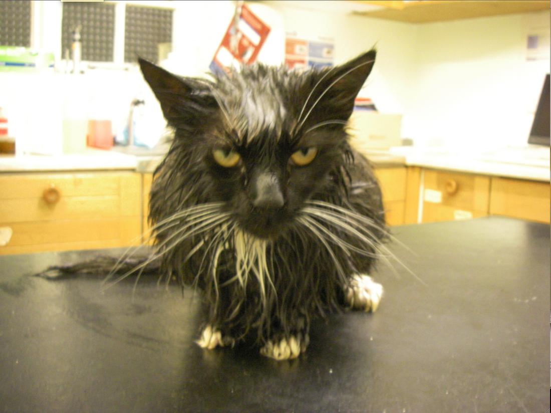 Mikrokisse.  Katten med det passande namnet Kom igen kokades i mikron av husse – överlevde.  Foto: RSPCA