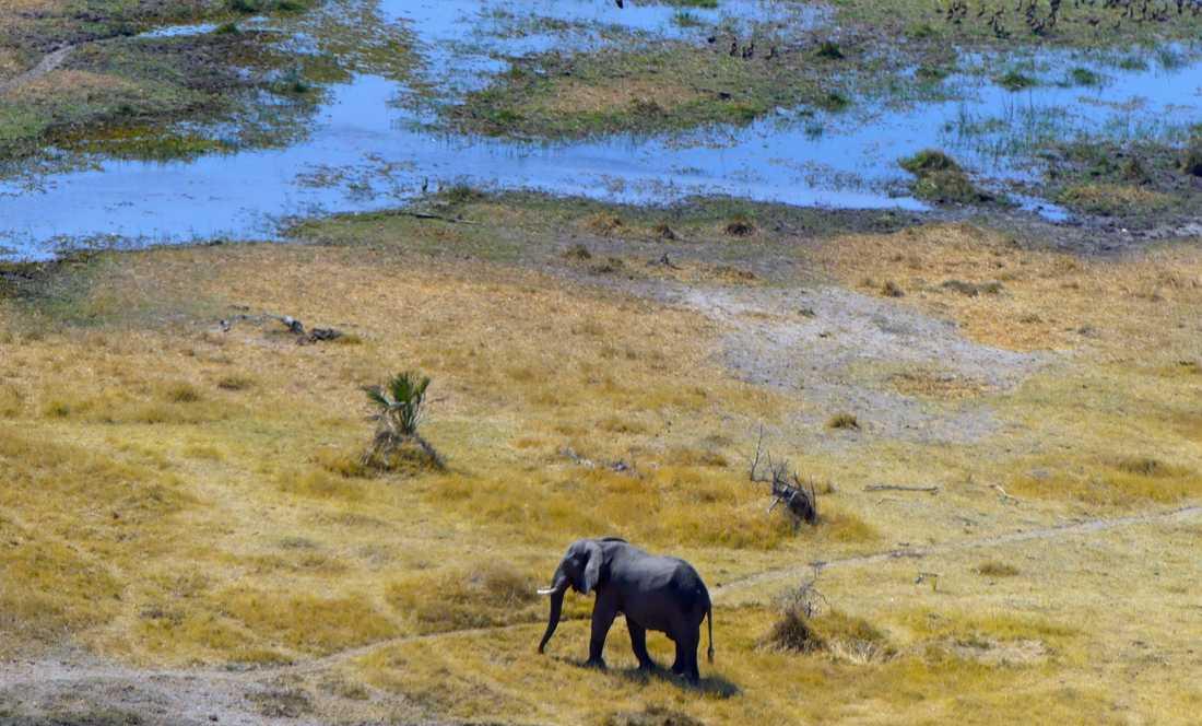 Botswana har världens största elefantpopulation. Här ett exemplar i delta Okavango, där nu hundratals elefanter påträffats döda. Arkivbild.