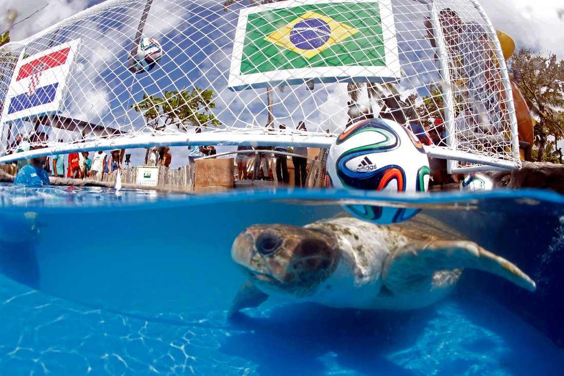 Jättesköldpaddan Cabecao spår premiären mellan Brasilien och Kroatien i en pool i Praia do Forte.