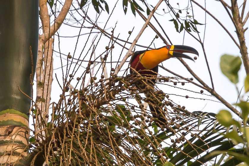 Jussarapalmen (Euterpe edulis) är beroende av stora fåglar som den gulbröstade tukanen (Ramphastos vitellinus) för sin fröspridning.