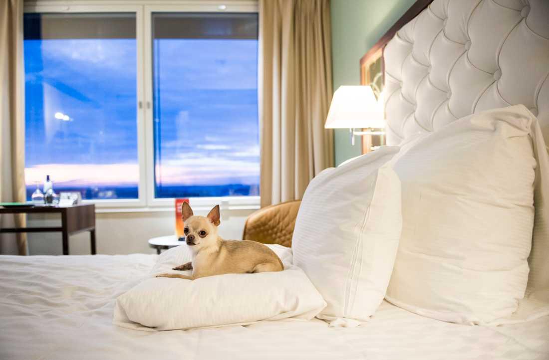 Chihuahuan Prins på Hotel Clarion Arlanda. Bilden är från ett tidigare år.