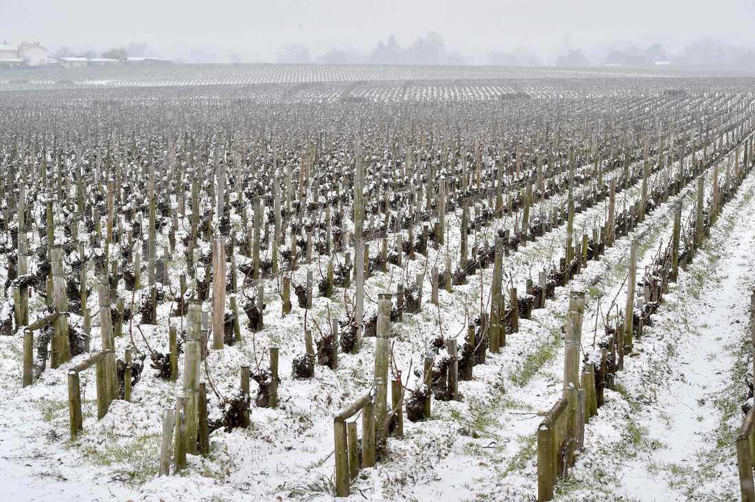 En vingård i Bordeaux