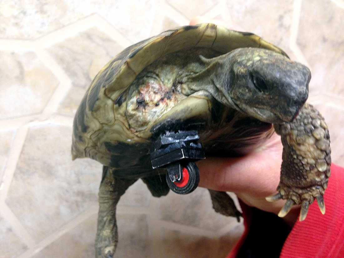 LEGOLAGAD En sköldpadda har fått en provisorisk protes gjord av legobitar i Neuried, södra Tyskland. Sködpaddan hittades svårt skadad i en trädgård och väntar nu på en riktig protes.