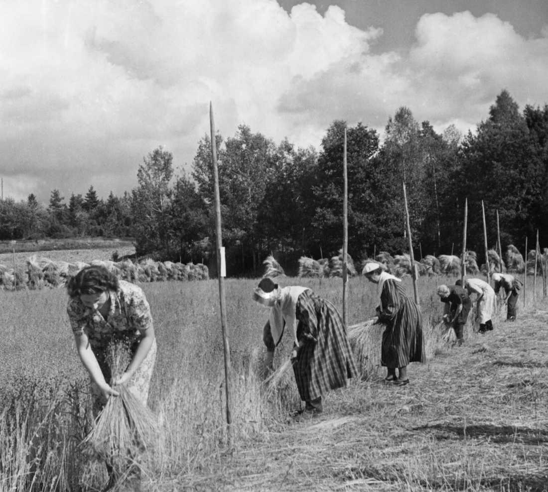 När man skördar lin rycker man upp det med rötterna, därför kallas det att rycka lin. Här är deltagarna i en linryckningstävling 1950. Arkivbild.
