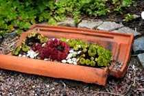 trivs Stenpartiväxter som taklök trivs bra även i en gammal takpanna.