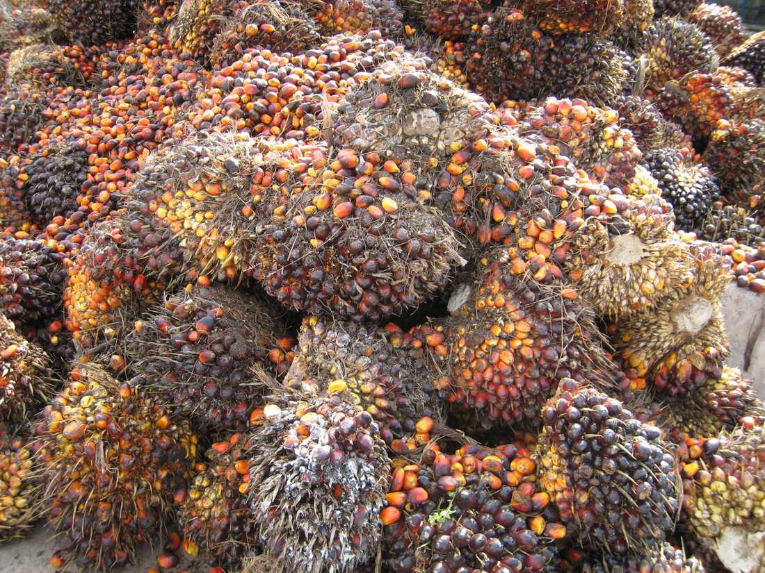 Lager av oljepalmsfrukter vid en fabrik som pressar frukterna till palmolja, för export till framför allt Kina, Indien och EU, inklusive Sverige.