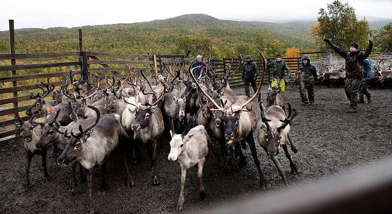 Samernas rennäring utmanas ständigt av gruvnäringen. Foto: Pontus Orre