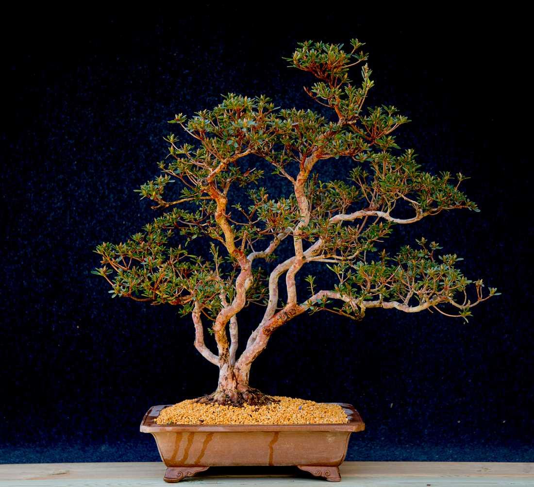 Ett bonsaiträd av sorten japansk azalea. Arkivbild.
