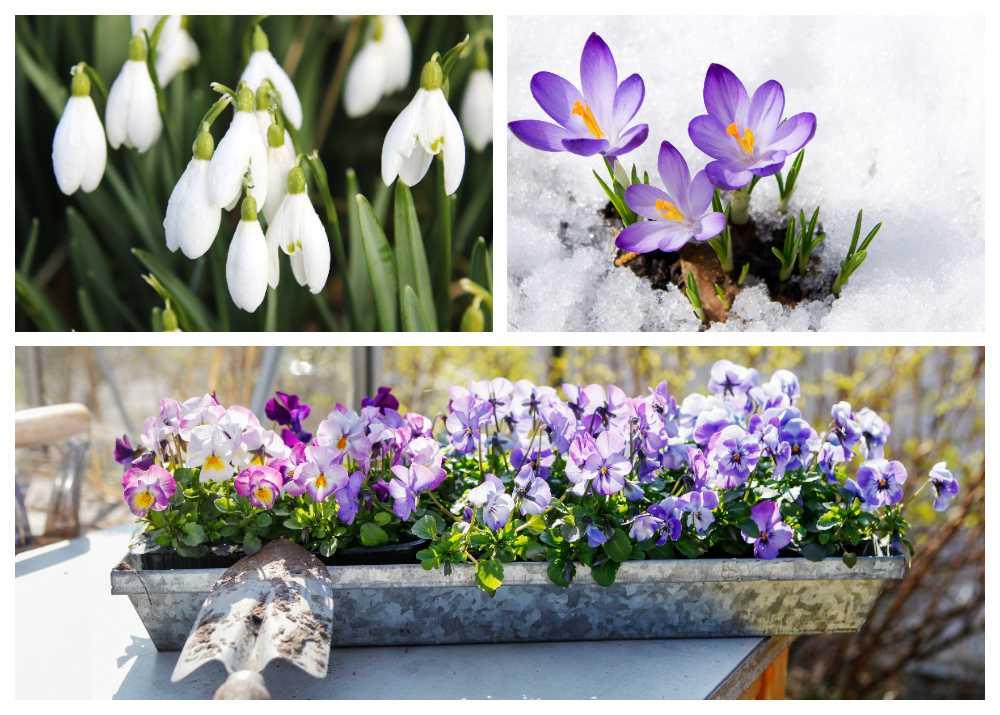 Nu i mars är äntligen vårens första blomning inom räckhåll.