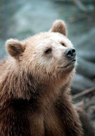 Två rumänska bärplockare dödades av en björn.