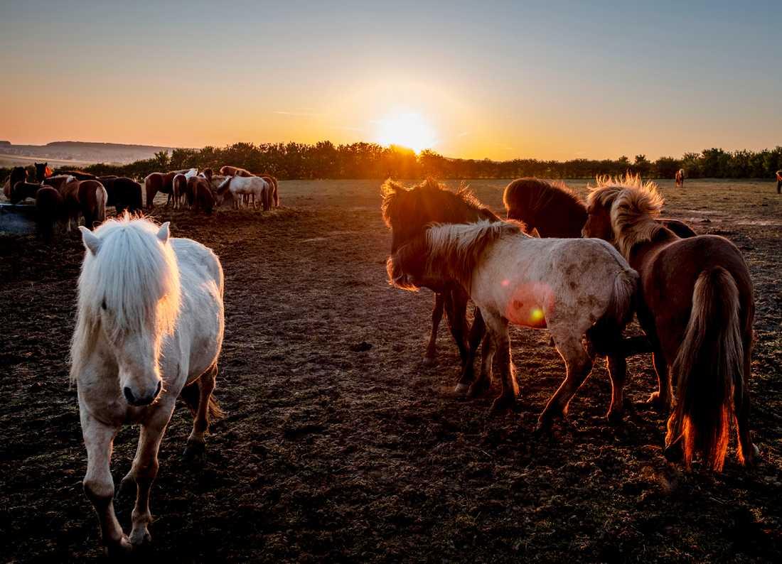 Polisen efterlyser tips efter att fyra hästar attackerats i Varbergs kommun under året. Arkivbild.