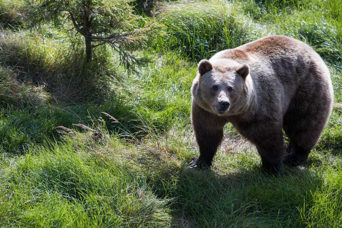 Björnjakten inleddes under onsdagen. Arkivbild.