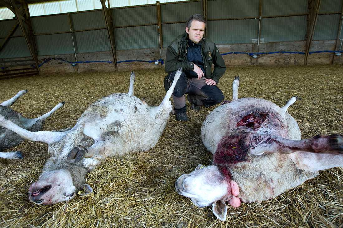 Johan Lundgren med dödade får.
