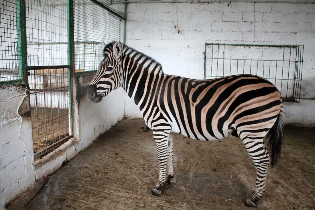 Flera av djuren, däribland zebran, togs om hand av en djurorganisation och flyttades till en annan djurpark.
