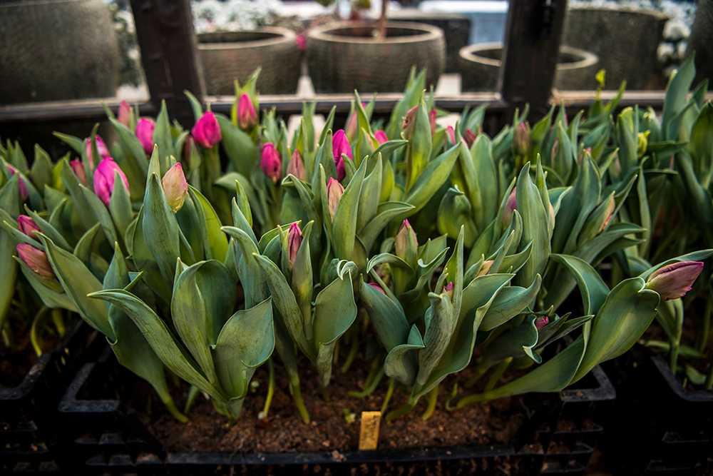 Men blommorna får gärna stå svalt nattetid för bättre färgprakt och bättre hållbarhet.