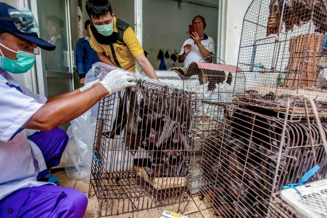 Fladdermöss undersöks i Indonesien efter coronautbrottet.