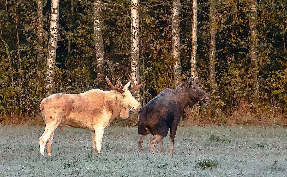 Älgtjuren närmar sig kon.