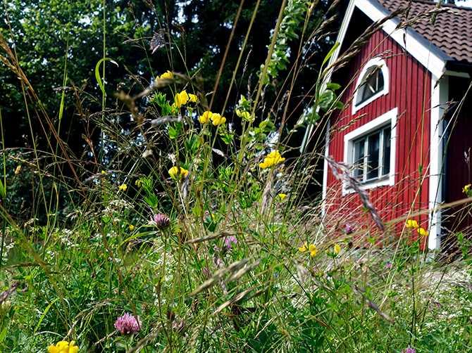 Blomsteräng framför en sommarstuga.
