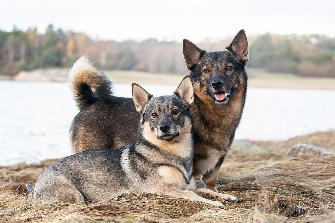 Athos och Fanny, Västgötaspets, från Västkusten har blivit utsedda till frimärkshundar i Postnords tävling.