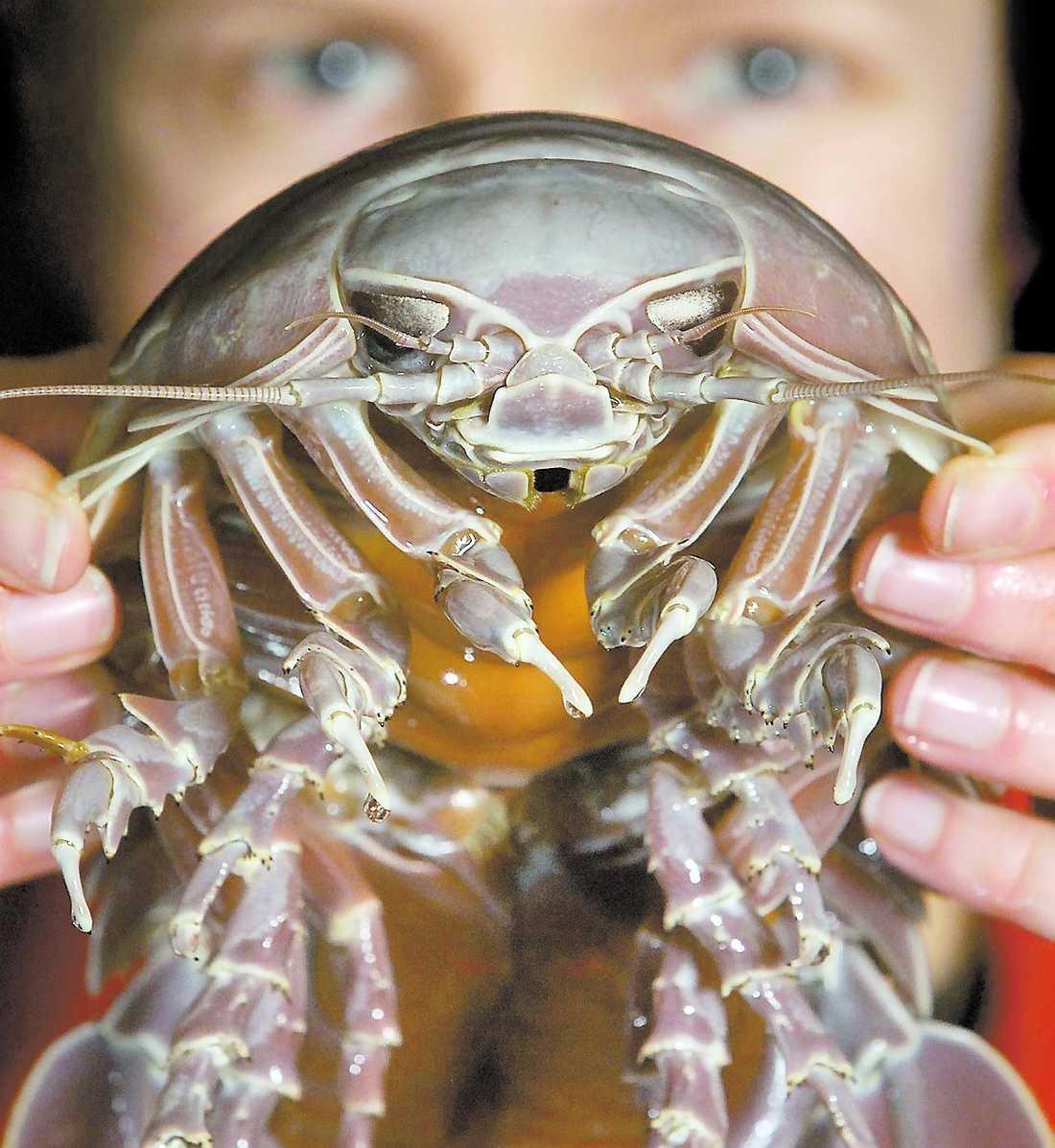 Levande fossil Den här jättegråsuggan har fångats av amerikanska hummerfiskare. Den lever på nästam två kilometer djupt vatten där den är asätare och kalasar på döda djur.