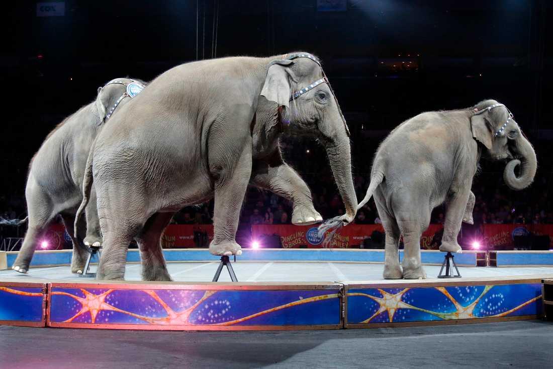 Elefanter på Ringling Bros and Barnum&Bailys cirkus i maj 2016. Sista föreställningen innan de, precis som sina danska kollegor, fick gå i pension. Arkivbild.