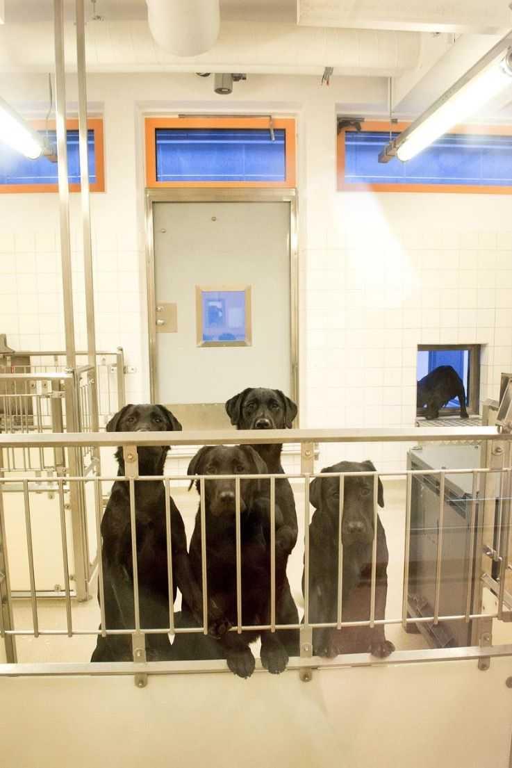Hundarna ska avlivas efter djurförsöken.