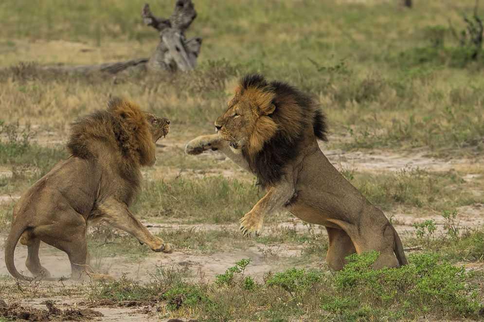 Cecil, till höger, i slagsmål med Jericho 2013.