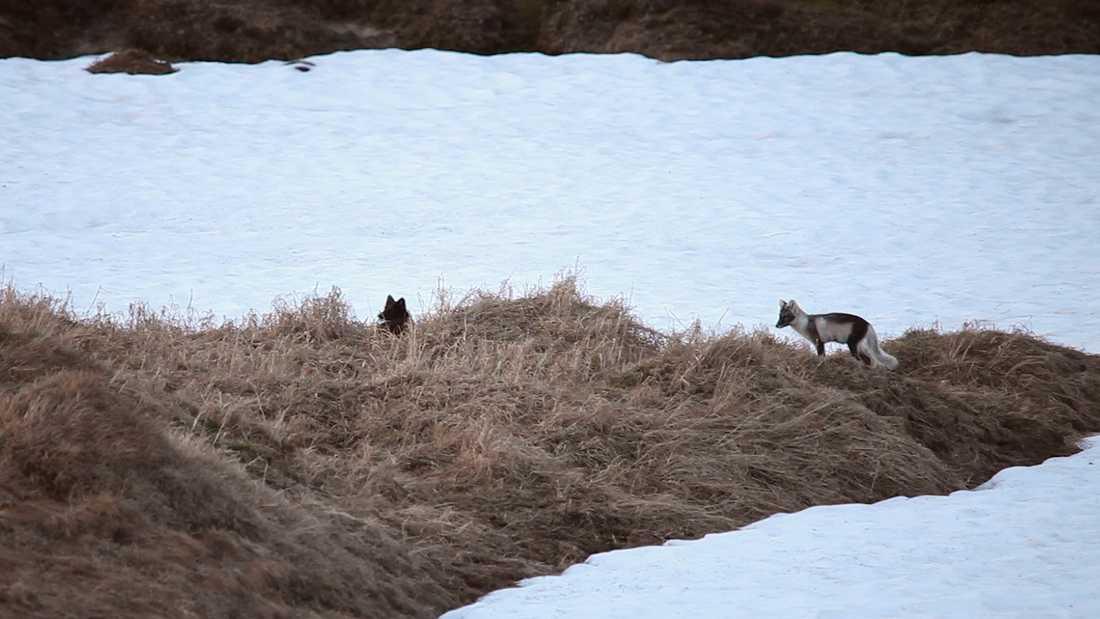 De båda fjällrävarna i Jämtlandsfjällen har inte en aning, men snart kan de följas på webben dygnet runt.