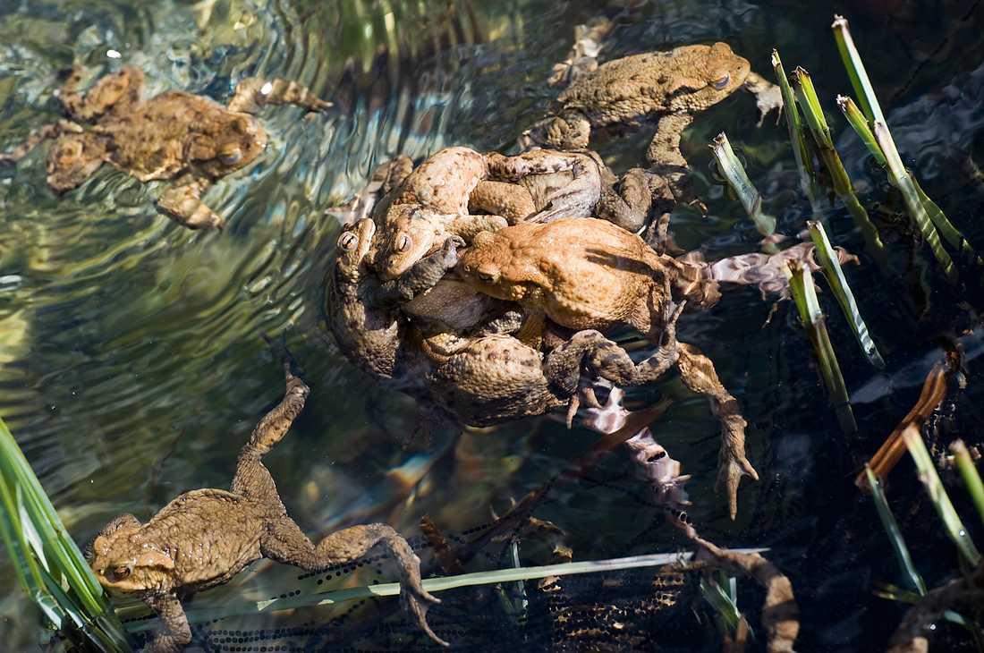 Totalt 40000 ägg från den fridlysta strandpaddan ska flyttas från en västkustö till en annan. Bilden föreställer inte strandpaddor. Arkivbild.
