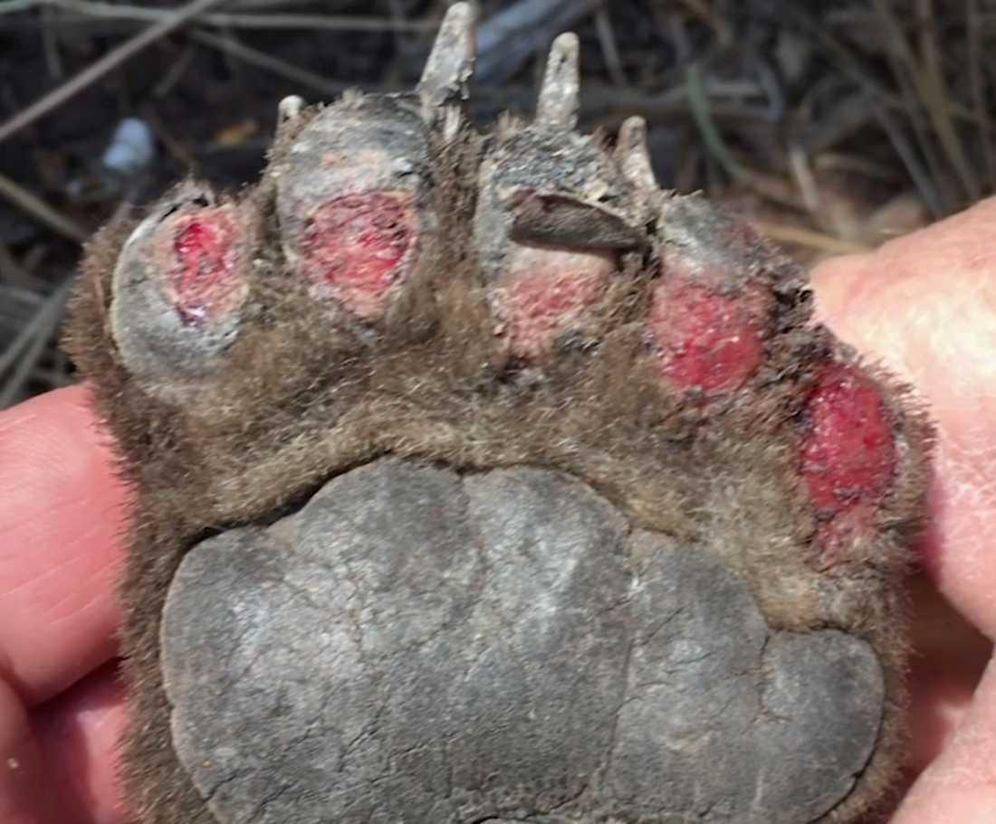 Björnen hade svåra brännskador på tassarna när hon räddades.