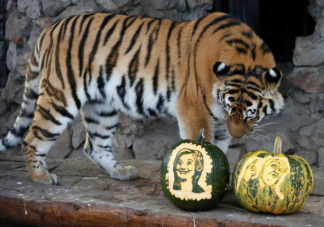 TIGER INTE OM VALET Felix zoo-polare, en sibirisk tiger, valde dock Hillary Clinton. Det kan bli en het valvaka i den ryska djurparken...
