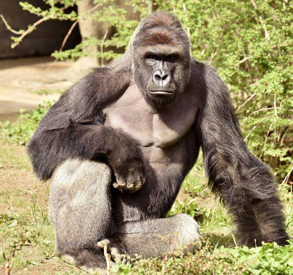 Djurskötare på Cincinnati Zoo i den amerikanska delstaten Ohio tvingades skjuta ihjäl gorillan Harambe sedan en treårig pojke klättrat in i djurets inhägnad.