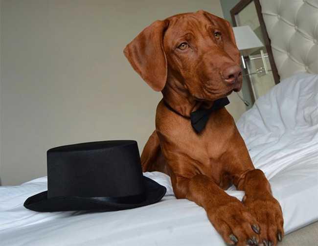 Hund uppklädd för nyårsafton på hotell.