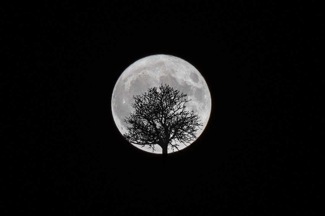 Månen med ett träd i förgrunden, fotograferad i Tyresö i Stockholm.