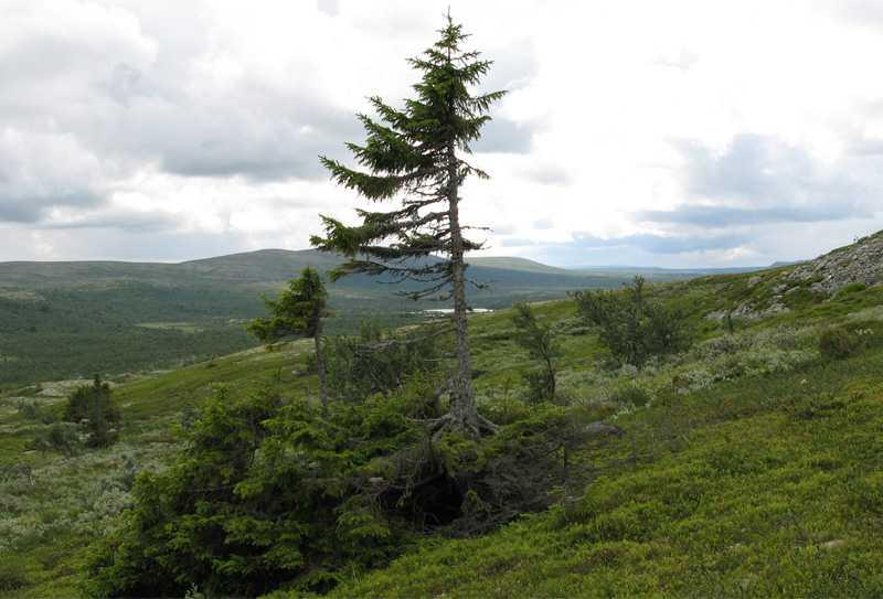 Fnatte 5 550 år gammal står den här granen fortfarande stark på bergssluttningen.