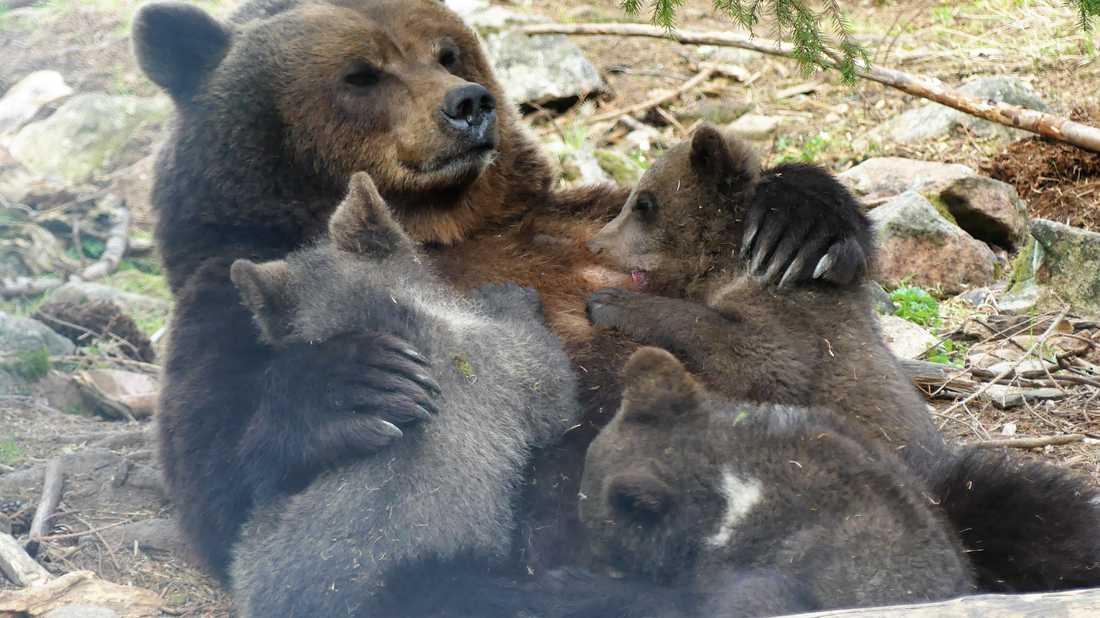 Årets björnungar ute i Orsa Rovdjurspark. De tre små björnpojkarna föddes i rovdjursparken i början av januari och har nu fullt upp med att leka, dia och sova.