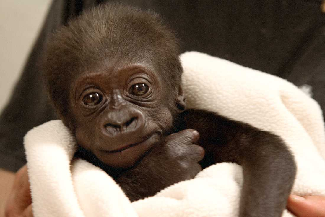 Enzo blev rikskändis när han som Sveriges första gorillaunge någonsin föddes på Kolmårdens djurpark 2006.