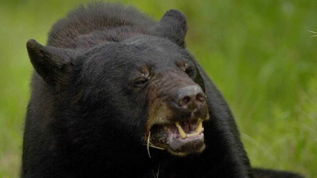 Mannen annonserade ut klor från svartbjörn. Arkivbild.